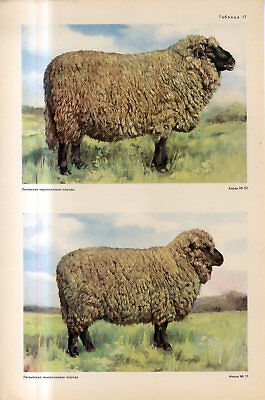 c1940s LITHUANIAN and LATVIAN BLACK-HEADED SHEEP MALE FEMALE Antique FOLIO Print