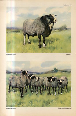 c1940s ROMANOV SHEEP BREED MALE FEMALE Antique FOLIO Print