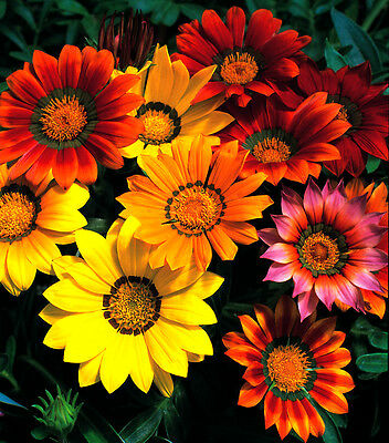 Gazania Splendens Sunshine mix - Appx 120 seeds - Perennial
