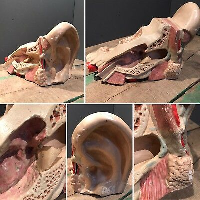 Antique Medical Scientific Teaching Plaster Anatomical Model Ear Skull ROUILLY