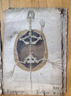 Vintage Anatomy Hand Painted Poster 88 x 65cm Tortoise hand painted W colour