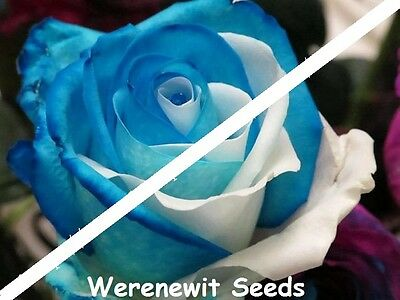 20 x NEW EXOTIC SKY BLUE-SNOW ROSE SEEDS,BLUE-WHITE SIDE,FREE POST,FRESH STOCK.