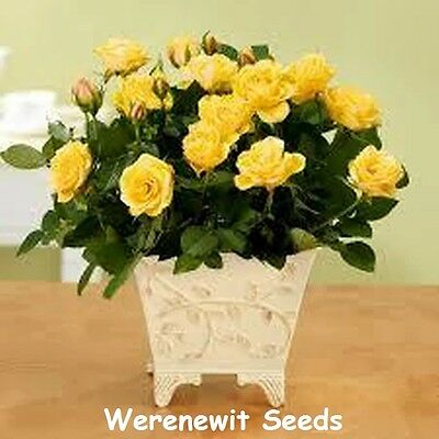 20 x NEW FRESH YELLOW DIAMOND MINIATURE ROSE SEEDS,FREE POST,TIME 2 STRATIFY.