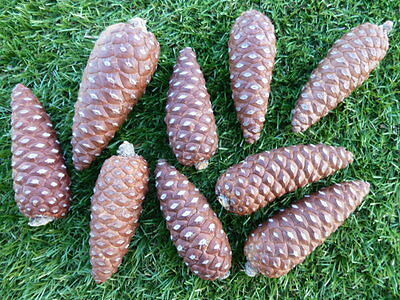 Pine Cones 12 Closed Natural Pinecones Ideal for Craft / Christmas Decorations