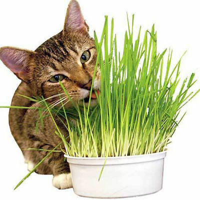 400PCS 20g Cat Grass Seeds Dog Oats Antioxidant Pets Health Food Avena Sativa US