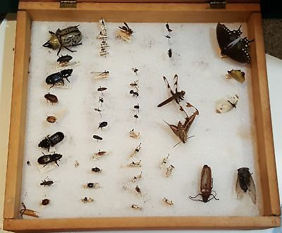vintage TAXIDERMY MOTH BEETLE ROACH COLLECTION in WOOD BOX CASE real insect ID'D