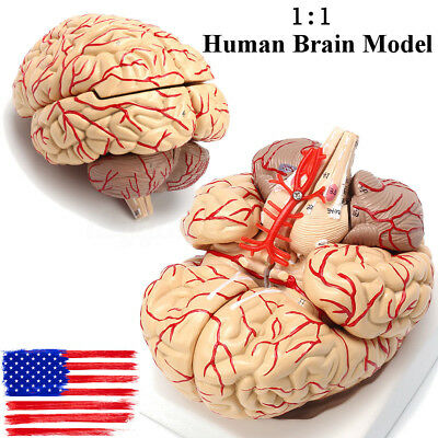 Human Anatomical Brain Professional Dissection Model for Medical Teaching Study