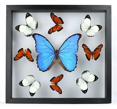 Mounted real butterflies; butterfly collection; framed art UNIQUE BEAUTIFUL GIFT