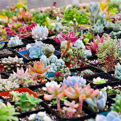 400PCS Rare Mixed Succulent Seeds Lithops Living Stones Plants Cactus Plant UP