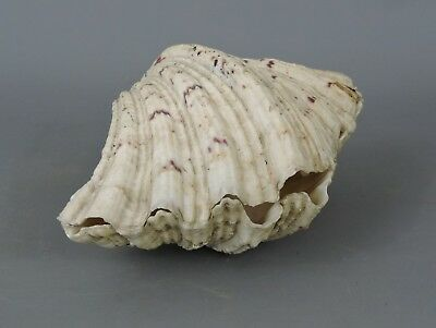 Large old Giant Clam Shell - Tridacna Gigas- Home, garden, Deco