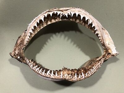Real Blacktip Shark jaw teeth taxidermy
