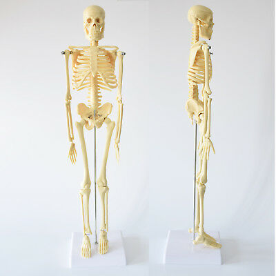 Aid Human Model Anatomy Medical Learn Anatomical Skeleton Stand Poster