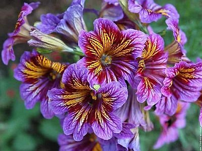 Salpiglossis Sinuata Mix (1000 Seeds.)
