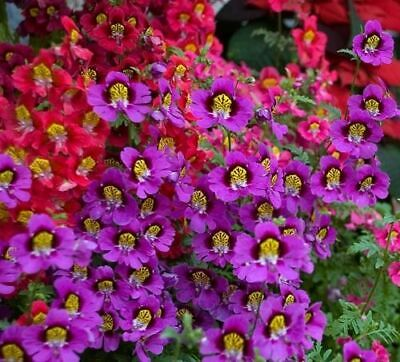 ANGEL WINGS MIX - Schizanthus Wisetonensis (700 SEEDS) ANNUAL FLOWER