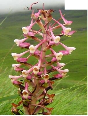 20 x DISA cooperi Orchids Seeds Garden Plant Room Fresh New #1297