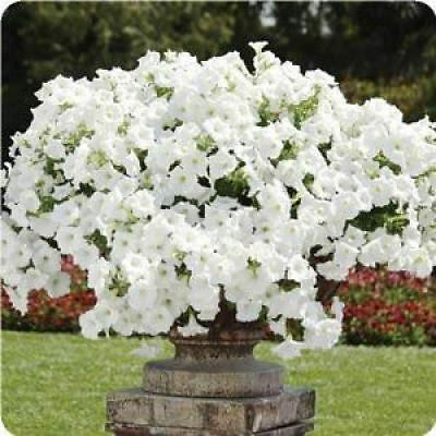 Trailing Petunia Flower - White (1000 Seeds)