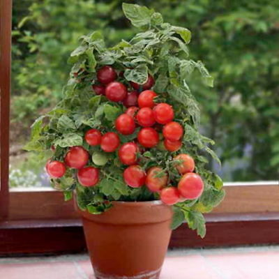 Cherry Tomato Red Bajaja Balkony  (150 Seeds)