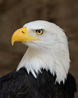 Eagle / BIRD 8 x 10 / 8x10 GLOSSY Photo Picture IMAGE #8