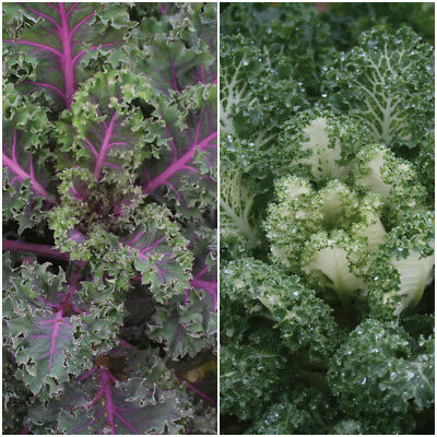 Stunning Edible Kale Collection Emerald Ice And Midnight Sun New ! 20 Seeds