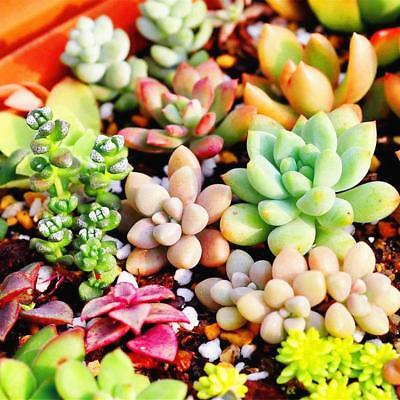 400PCS Mixed Succulent Seeds Lithops Living Stones Plants Cactus Home Decors