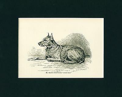 Dog Print 1892 Irish Terrier Dog DOLLY DOON Antique