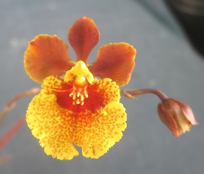 RON. Bulk Orchid Tolumnia deal. 5 different named Tolumnias (2793)