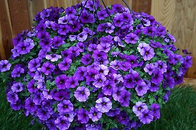 Trailing Petunia Flower - Blue (1000 Seeds)