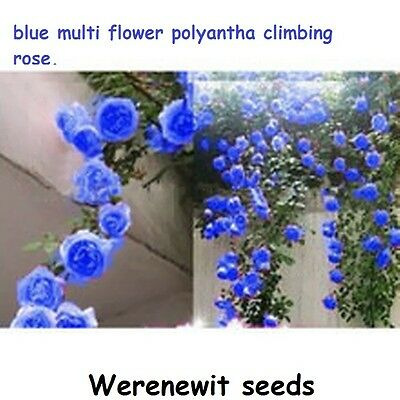 20 x BLUE MULTI FLOWER POLYANTHA CLIMBING ROSE SEEDS,FREE POST,FRESH STOCK.