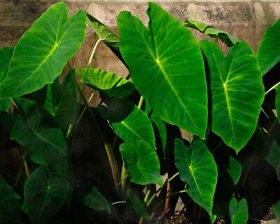 TARO -  Delicious and High Yield Variety -  1 Small Plant