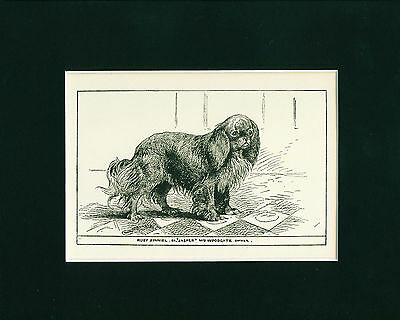 Dog Art Print 1900 Cavalier King Charles English Toy Spaniel Dog ANTIQUE