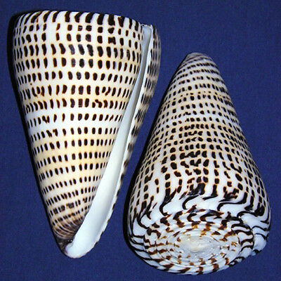 "Polished Lettered Cone Conus litteratus Shell 4""+ WOW! ~ Seashell Craft 1-3 Pcs."