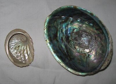 Paua shell and another smaller mother-of-pearl type shell from New Zealand