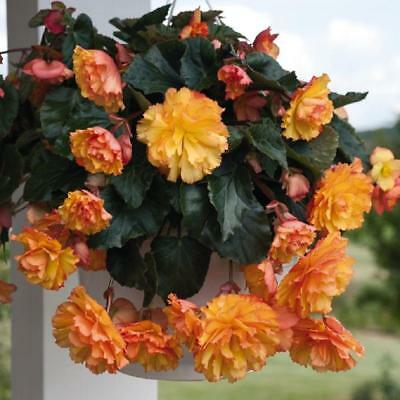 Flower - Begonia Illumination Golden Picotee - 20 seed Trailing / Basket type