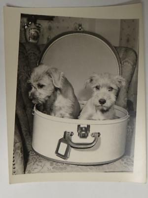 Two Schnauzer Pups in a Hat Box 5 X 6.5 Inches  B1S1
