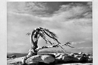 Jeffrey Pine B+W Photo  Silver Gelatin