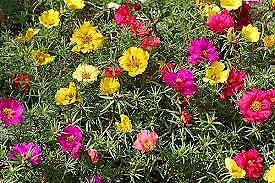 MOSS ROSE DOUBLE Portulaca Grandiflora MIX -1200 SEEDS FLOWER