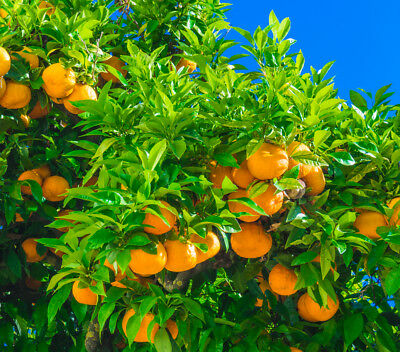Stunning Citrus 'Manderin' / Mandarin Orange Tree, 2ft Tall In 5L Pot