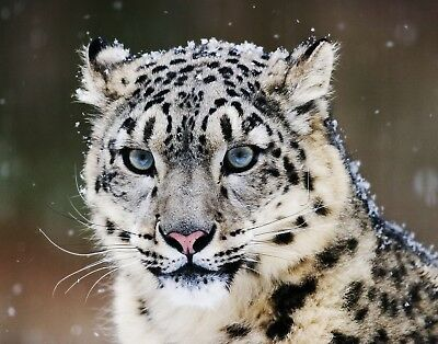 Snow Leopard 11 x 14 / 11x14 GLOSSY Photo Picture