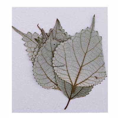 10x Dried Pressed Flower Leaves Ramie Leaf for Homemade DIY Arts Crafts Supplies