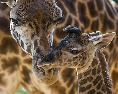 Giraffe With Baby 8 x 10 / 8x10 GLOSSY Photo Picture IMAGE #6