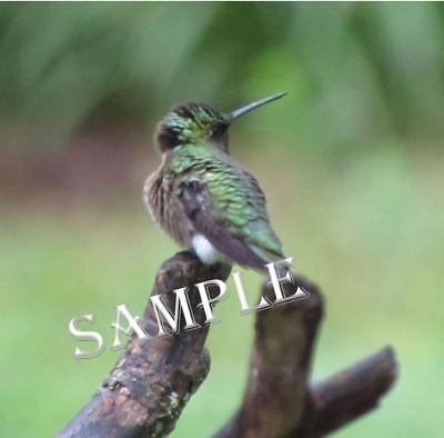 Digital Picture Image Photo Wallpaper JPG Hummingbird Desktop Screensaver