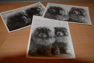 Vintage Black and White Photos of Chow Chow Dogs