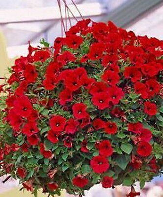 Trailing Petunia Flower Red (3000 Seeds.)