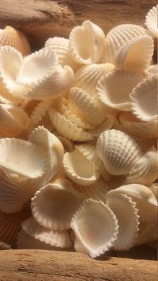 "White Ark Seashells Cockle Shells Bag 50 pcs Shells 1/2"" to 1 1/4"" Scapha Ribbed"