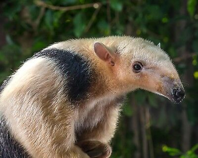 Anteater 8 x 10 / 8x10 GLOSSY Photo Picture IMAGE #2