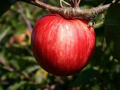 Red Devil Apple Tree 4-5ft, in a 6L Pot, Self-Fertile, Sweet Strawberry Taste