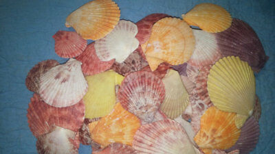 "100 PCS large Pecten Multi color Vibrant Colorful Scallop Sea Shells 1 1/4"" - 3"""