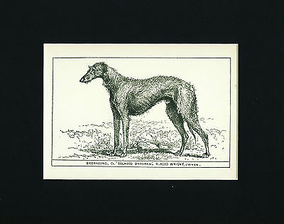 Dog Art Print 1900 Scottish Deerhound Dog ANTIQUE