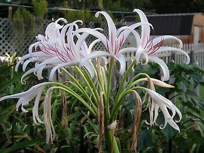 large blooming-size bulb NEW Crinum Lily Pink Flamingo super rare