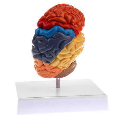 Lifesize Human Medical Colored Half Brain Anatomical Model Learning Resource